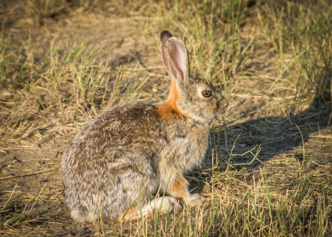 Hunters should use caution when field dressing wild rabbits.