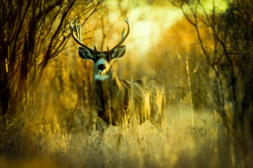 California mule deer (CDFW photo)