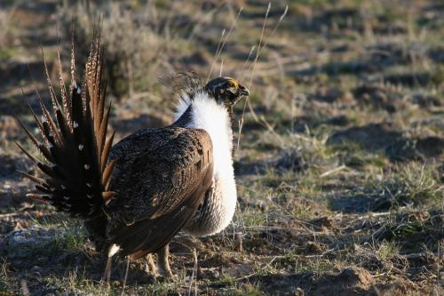 Greater Sage Grouse (ODFW photo)