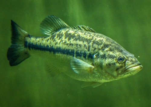 Largemouth bass are very difficult to sex unless you catch them in spawning mode (Creative Commons photo)