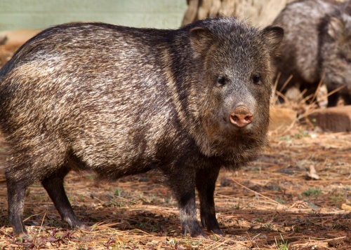f5c461364f1fd Although javelina may look similar to wild pigs commonly found in  California, they are not true pigs and do not reside in California.