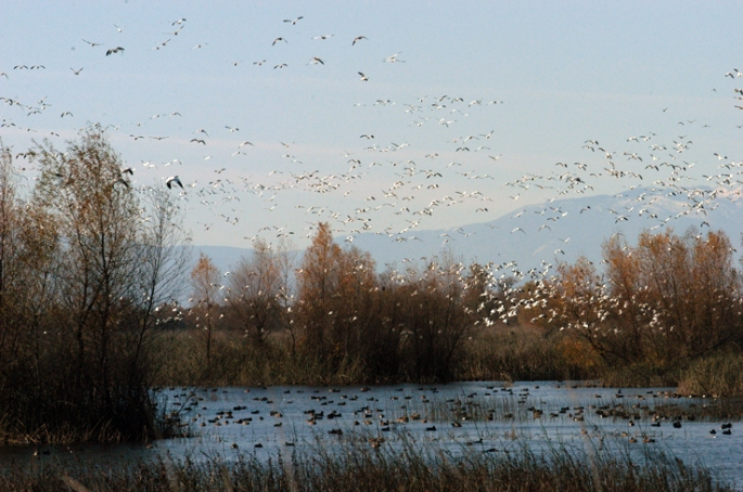 waterfowl flock in Central Valley
