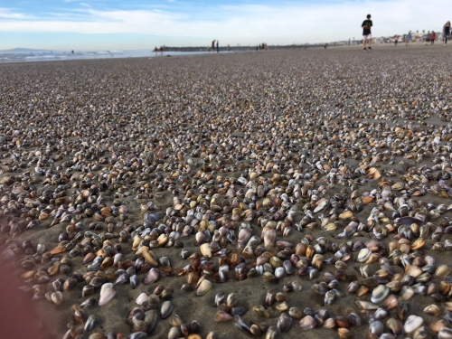 bean clams on Newport Beach