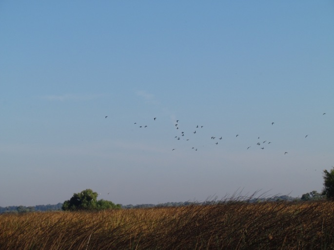 Waterfowl in flight at Los Banos Wildlife Area.