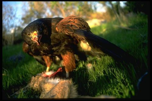 Harris's hawk and prey