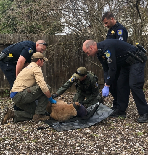 CDFW biologist and law enfocement officers examining tranquilized mountain lion