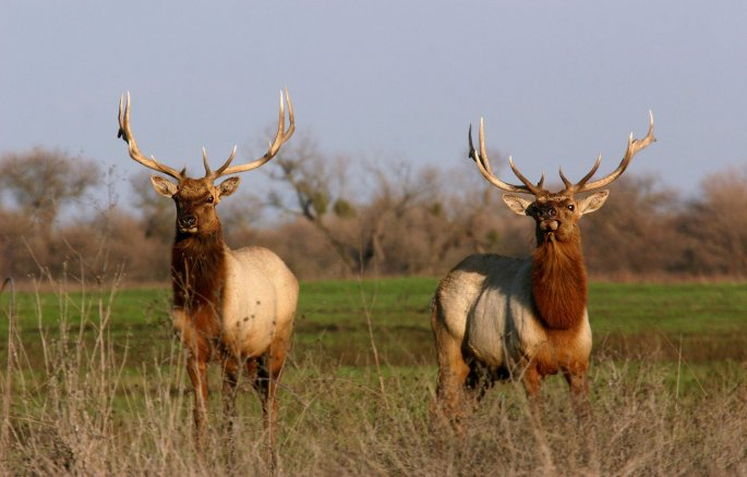 two large bull elk