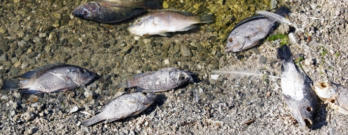 Dead tilapia at the edge of the Salton Sea