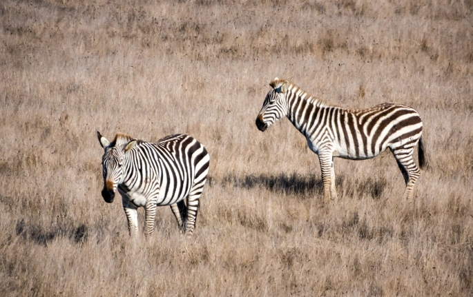two zebras in grass field
