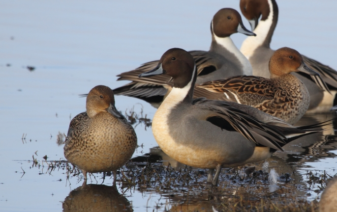 male and female pintails