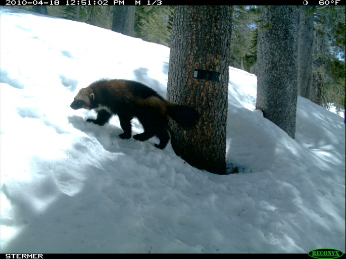 wolverine photo from a game camera
