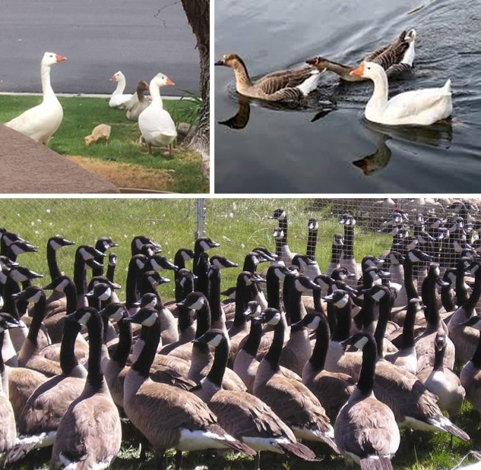 Graphic image with photos of domestic geese and Canada geese